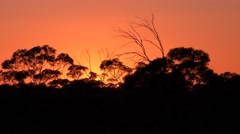 Eucalyptus Mallee Forest Trees and Orange Sky in Morning in Australia Stock Footage