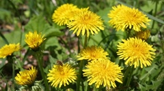 Forest insects pollinate flowers of dandelions in spring Stock Footage