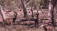 Kangaroo Mother and Joey in Australia Mallee Forest in Outback Stock Footage