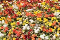 Flowerbed of small colorful flowers - stock photo
