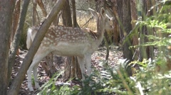 Spotted Fallow Deer in Forest Stock Footage