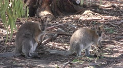 Red-necked Wallaby Kangaroos in Forest in Australia Stock Footage