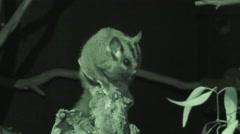 Sugar Glider Flying Squirrel at Night in Darkness in Australia Stock Footage