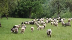 Sheep graze the grass. Transcarpathia Stock Footage