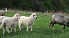 Sheep graze the grass. Transcarpathia Stock Footage