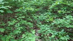 Forest. Transcarpathia Stock Footage