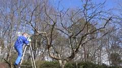 garden worker man climb on ladder and prune fruit tree branches - stock footage