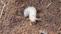 Larva the rhinoceros beetle Stock Footage