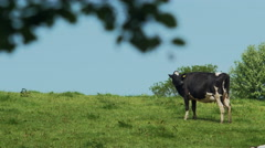 Lovely cows in a hot day Stock Footage