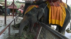 4k elephants eating leaves in a zoo, close up, Ayutthaya royal elephant park - stock footage