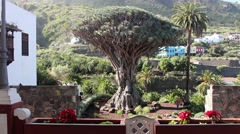 A Dragon Tree on the Canary Island of Tenerife Stock Footage