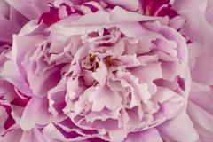 Pink Peony Petals Background Stock Photos