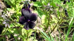 Viola Black Star Flowers Stock Footage