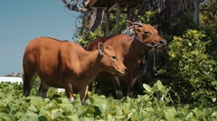 Two bali banteng cows standing in grass eating leaves near trees then turn head Stock Footage