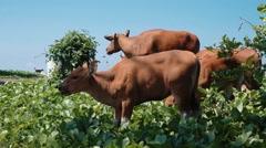 Bali banteng cows eating grass Stock Footage