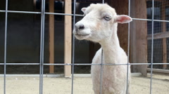 Little sheep bleating on the farm Stock Footage