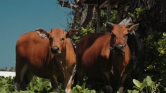 Two bali banteng cows standing in grass near trees looking into the camera Stock Footage