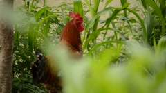 A rooster crowing in the farm - stock footage