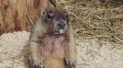 Bobak Marmot standing on hind legs Stock Footage