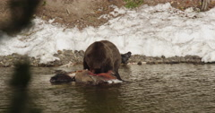 Fat grizzly uses claws and jaws  to tear at bison in river - stock footage
