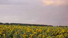 Beautiful sunflowers in the field Stock Footage