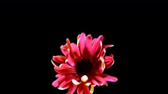 Time-Lapse of Growing And Opening Pink Gerbera Daisy Flower Isolated on Black Ba Stock Footage