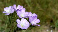 Wild flowers of violet color closeup. Steppe landscape. - stock footage