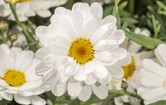 White Marguerite Flower - stock photo