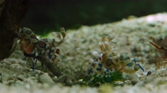 Harlequin shrimp Stock Footage