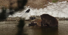 Large grizzly in sun rips at bison in river in Yellowstone Stock Footage