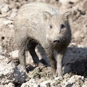 wild boar in the mud in the zoo - stock photo