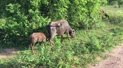 Mother and baby water buffalo in Udawalawe National Park Stock Footage