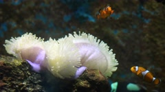 clownfish playing with sea anemone. - stock footage