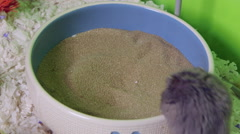 Grey hamster rolling in sand bath to clean its fur. Stock Footage