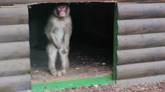 Macaque watching events from his hiding place - stock footage