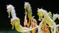Seahorse form the Andaman sea Stock Footage