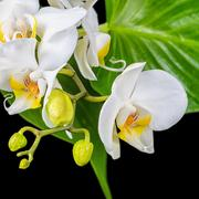 beautiful blooming white orchid flower, phalaenopsis and green leaves on is i - stock photo