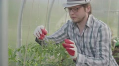 A young male farmer checks and takes care of the tomato plants in the garden Stock Footage