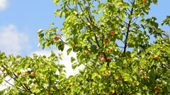 Apricots fruit hanging at branch of tree a sunny day Stock Footage
