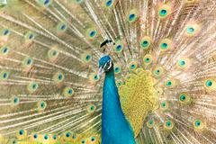peacock showing beautiful plumage in breading season - stock photo