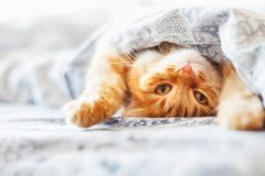 Cute ginger cat lying in bed under a blanket. Fluffy pet comfortably settled Stock Photos