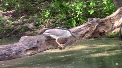 Black Capped Night Heron Stock Footage