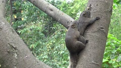 4k, Pallas's squirrel have sex in the tree of the Daan park forest, Taipei-Dan Stock Footage