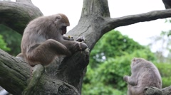 Formosan rock macaque sitting on the top the tree and eating at the zoo-Dan Stock Footage