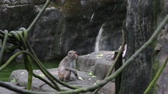 Adult Formosan rock macaque sitting near to the warter at the zoo -Dan Stock Footage