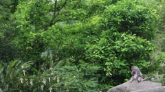 Formosan rock macaque sitting on the rock at the forest-Dan Stock Footage