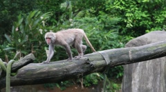 Formosan rock macaque walliking on the top the tree at the zoo-Dan Stock Footage