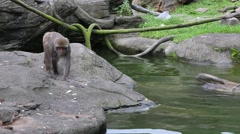 An adult Formosan rock macaque walking near to the warter at the zoo -Dan Stock Footage