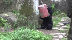 4k, An adult Formosa Black Bear play with the food container for eat-Dan Stock Footage