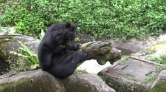 4k An adult Formosa Black Bear used Claws for scratching the paw in the zoo-Dan Stock Footage